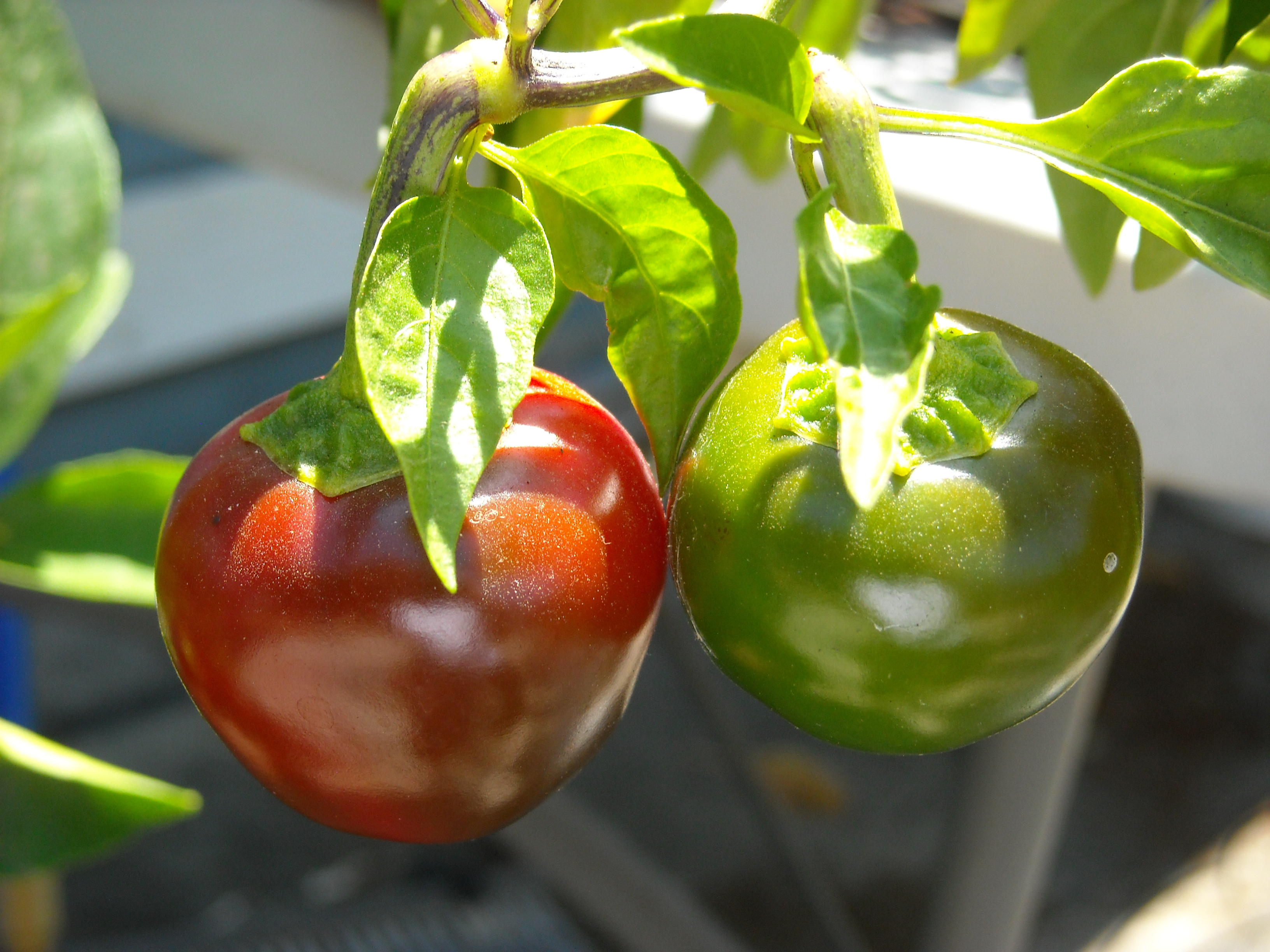 Cherry bomb peppers. Copyright GlutenFreeCuisine.org.